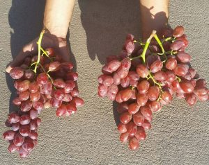 Untreated vs Treated Grapes