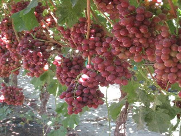 Gogreen archives bioflora bioflora for Table grapes
